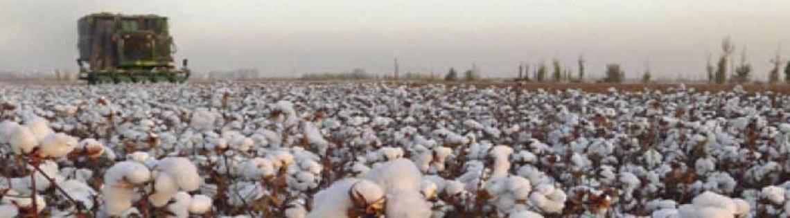 'Выращивание и сбор хлопка в Узбекистане