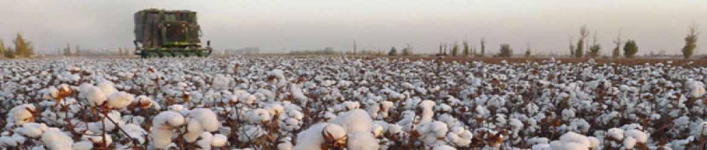 Выращивание и сбор хлопка в Узбекистане